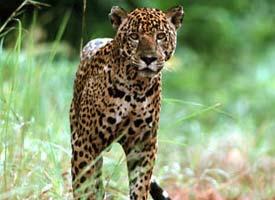 ACTIVITIES – Jaguar Spotting